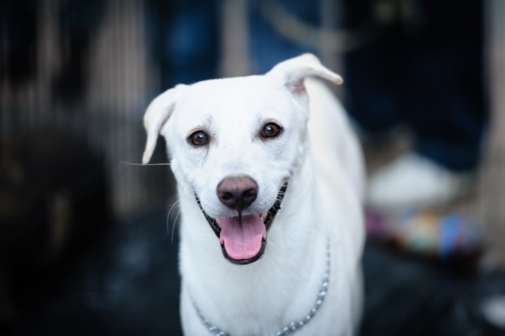 Street photography - White dog looking at the camera